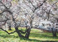 mt-lofty-spring-blossum-gallery