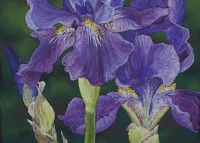 bearded-iris-mid-blue-oct2010