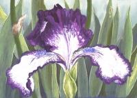 plicata-iris