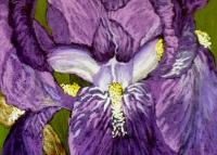 purple-bearded-iris-2011