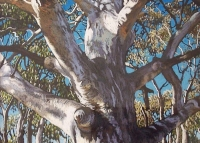 gum-tree-mt-ainslie