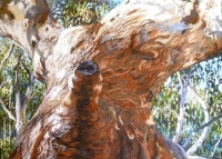 river-red-gum